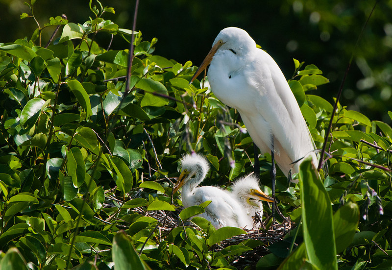 A Great White Egret mom watches over her 2 chicks.