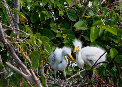 A pair of Great White Heron chicks exploring the area around their nest.