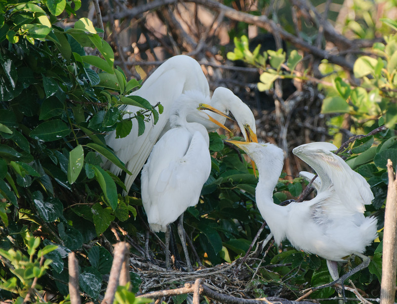 A Great White Heron feeds her two nearly grown chicks.