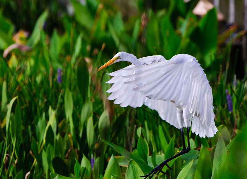 Great Egret coming in for a landing.