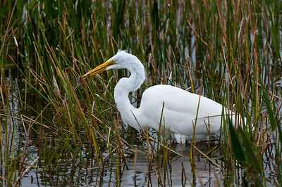 A Great White Egret snags two fish with one dart and proudly  displays his catch.