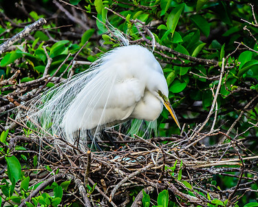 Great White Egret watching her 4 eggs