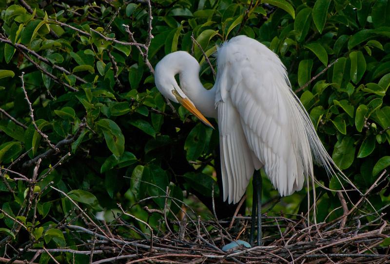 Great White Egret standing over her nest with two blue eggs.