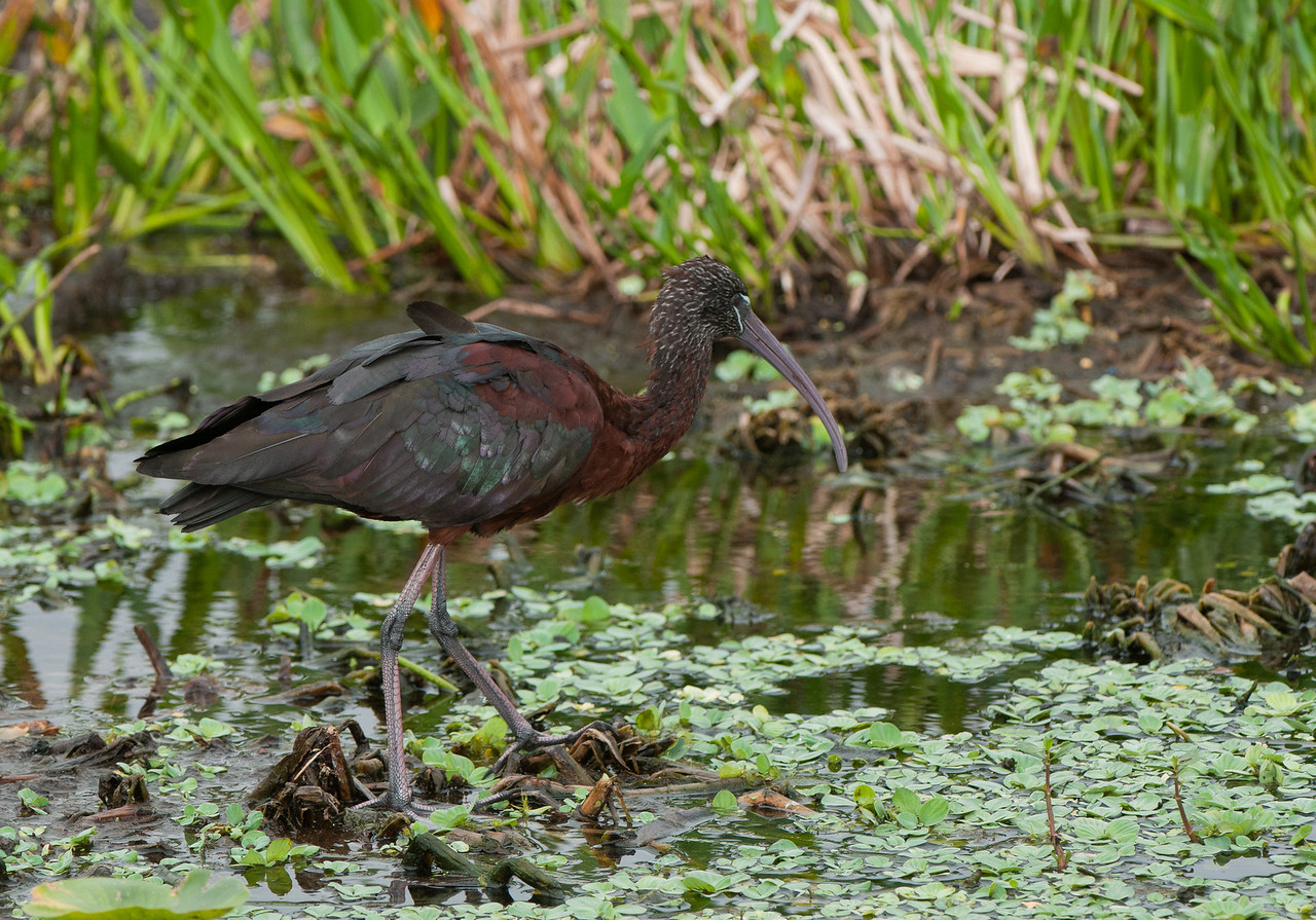 A Glossy BlackIbis walks through the duckweed in search of a meal.