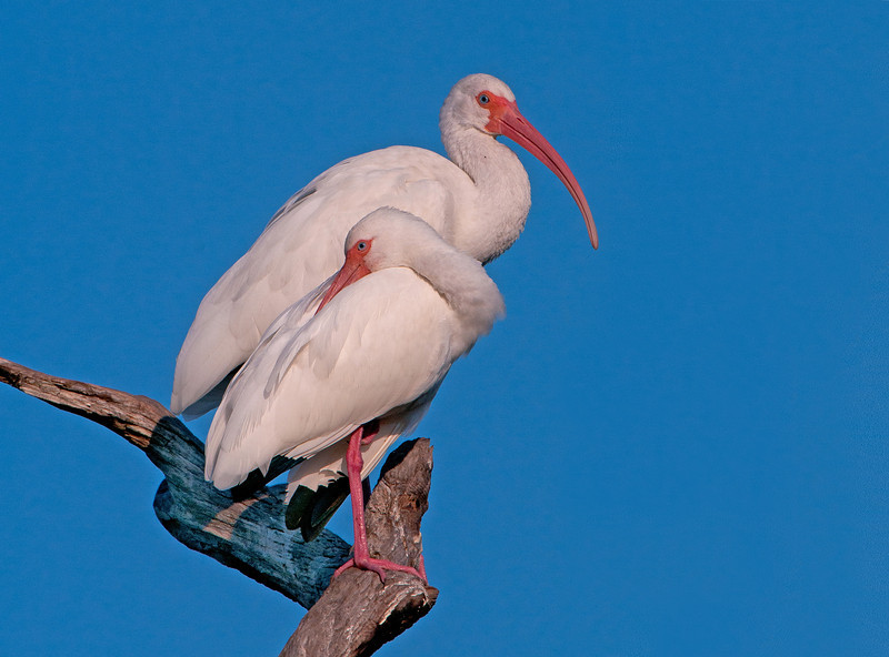 A pair of White Ibis stand out against the brilliant blue skies of the everglades.