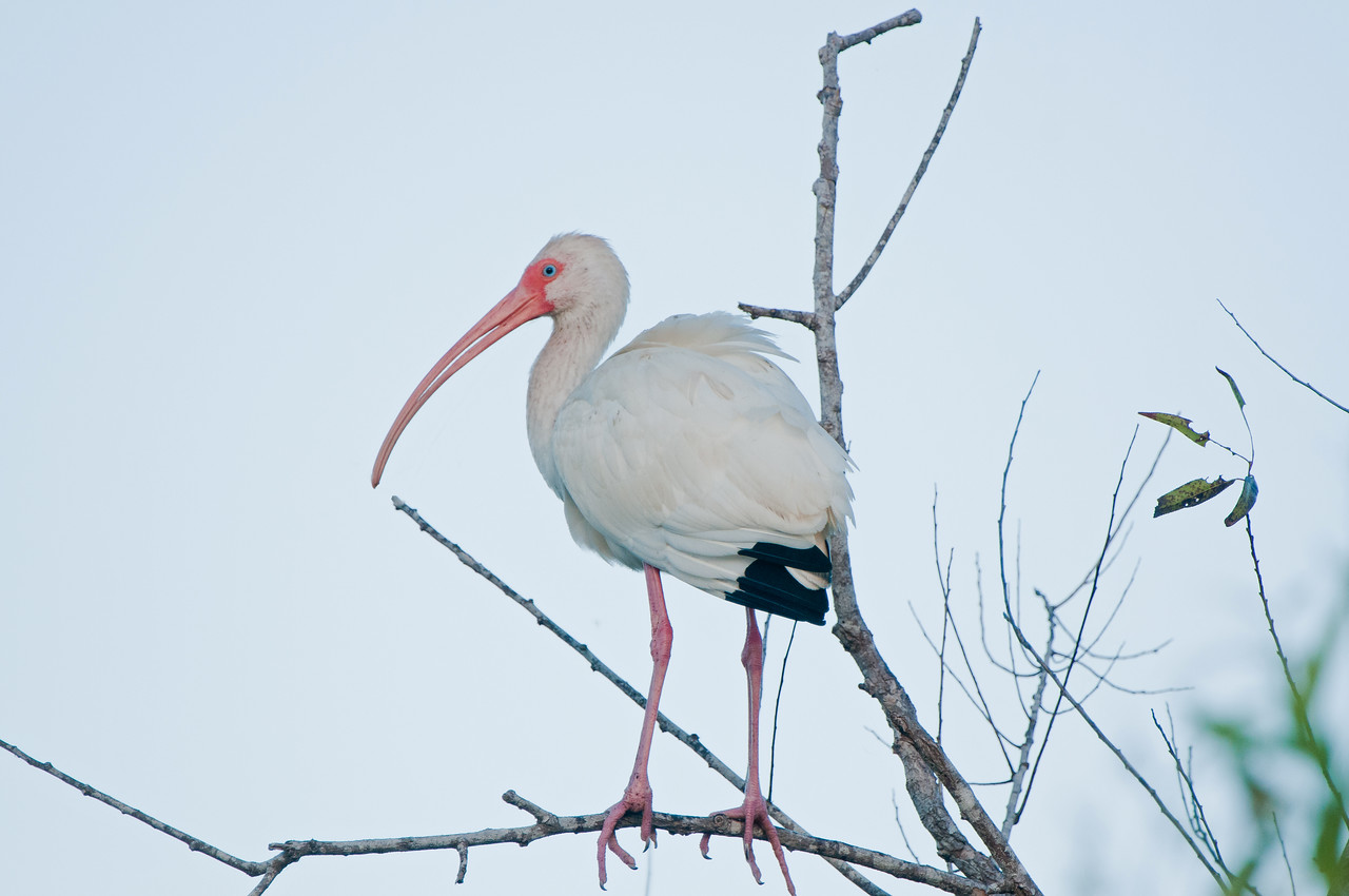 Lit by the first light of day, this white ibis clings to a tree branch.