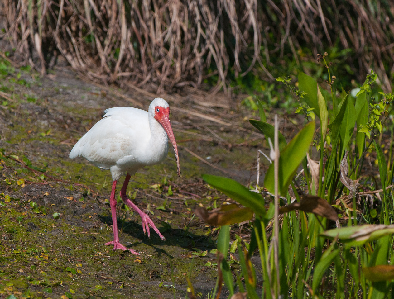A White Ibis heads to the marsh in search of a meal.