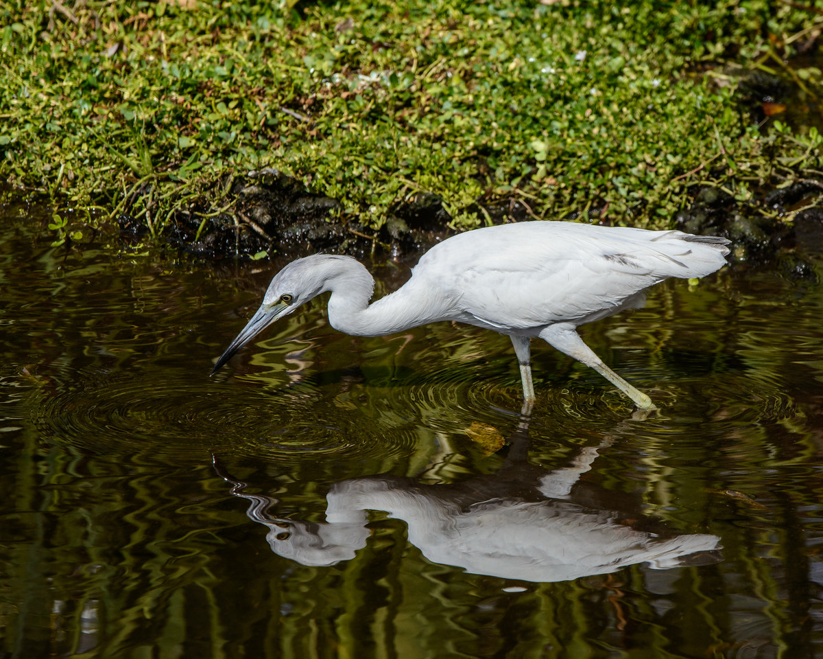Juvie Little Blue Heron