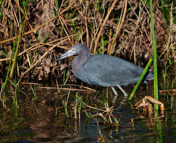 Little Blue Heron carries off a prized catch.