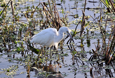 Little Blue Heron in white morph stage.