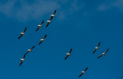 Pelicans over Florida Bay