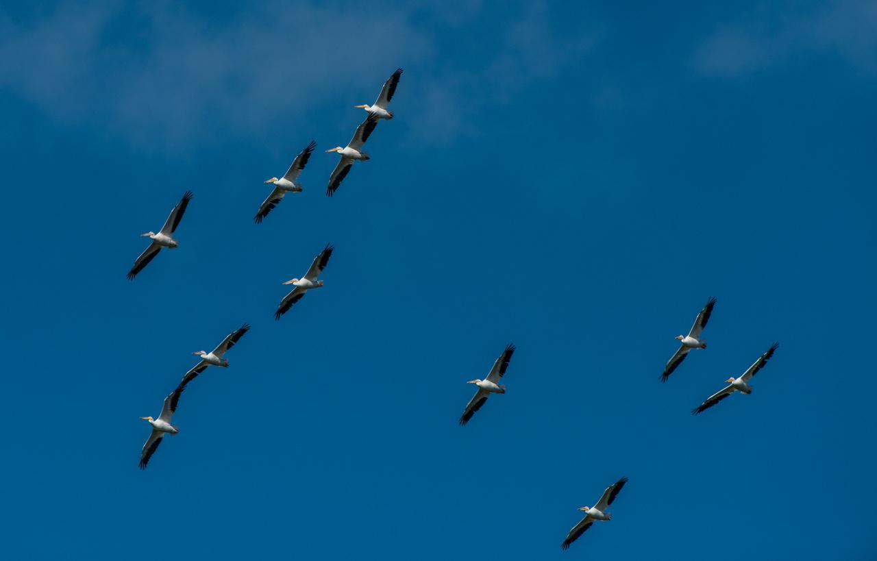 Pelicans over Florida Bay