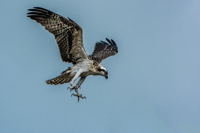 Osprey readies for a strike
