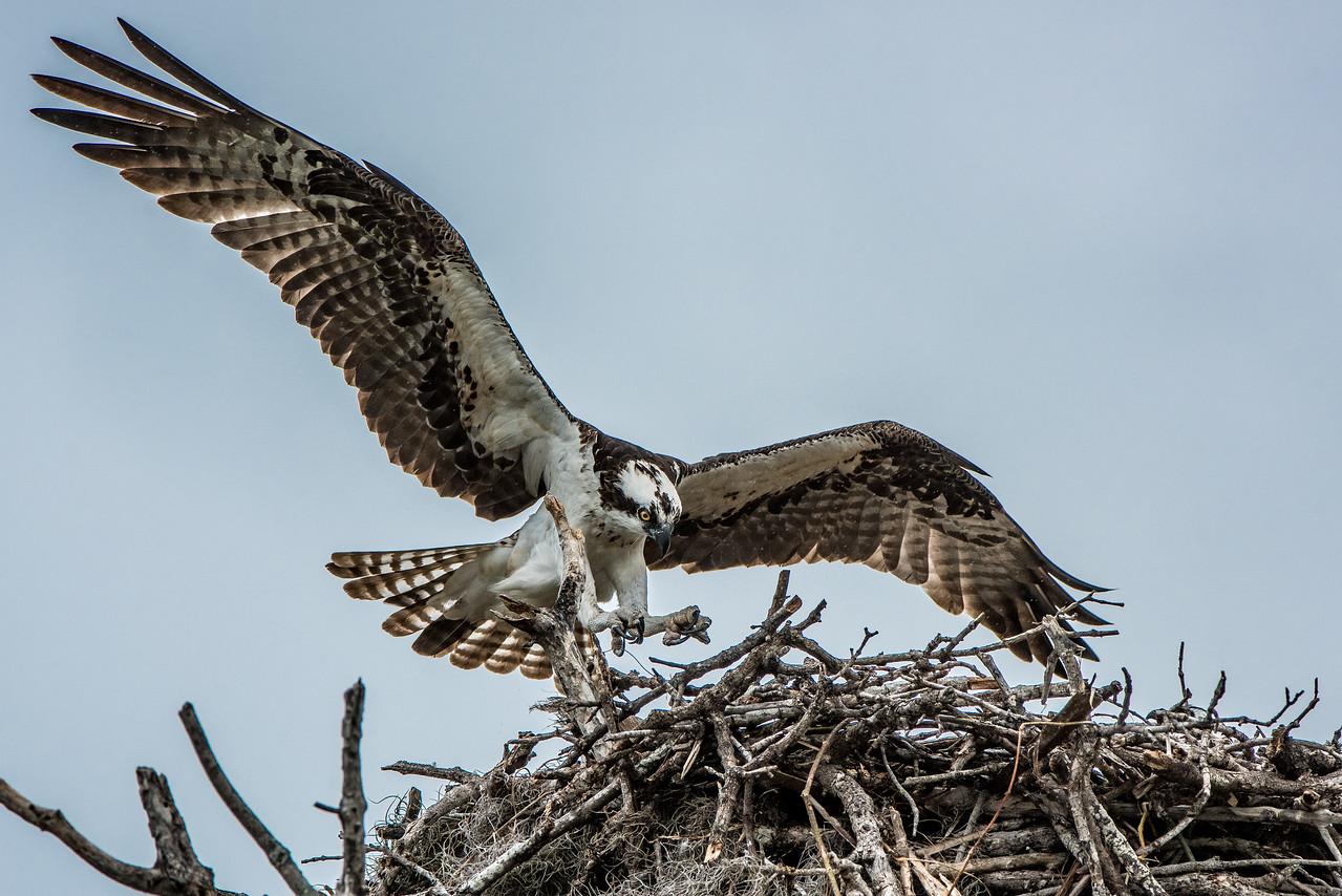 Incoming --  Osprey Landing