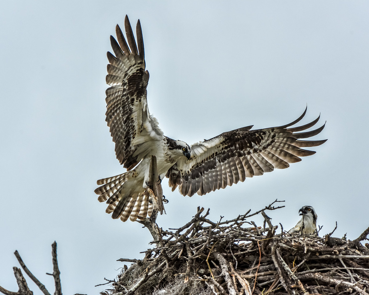 Female Osprey greets her mate as he returns to the nest.