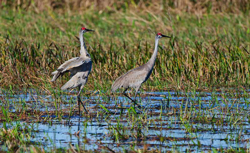 Sandhill Cranes preparing to mate.  They put on quite a show as they hop and flap frantically to attract their mate.
