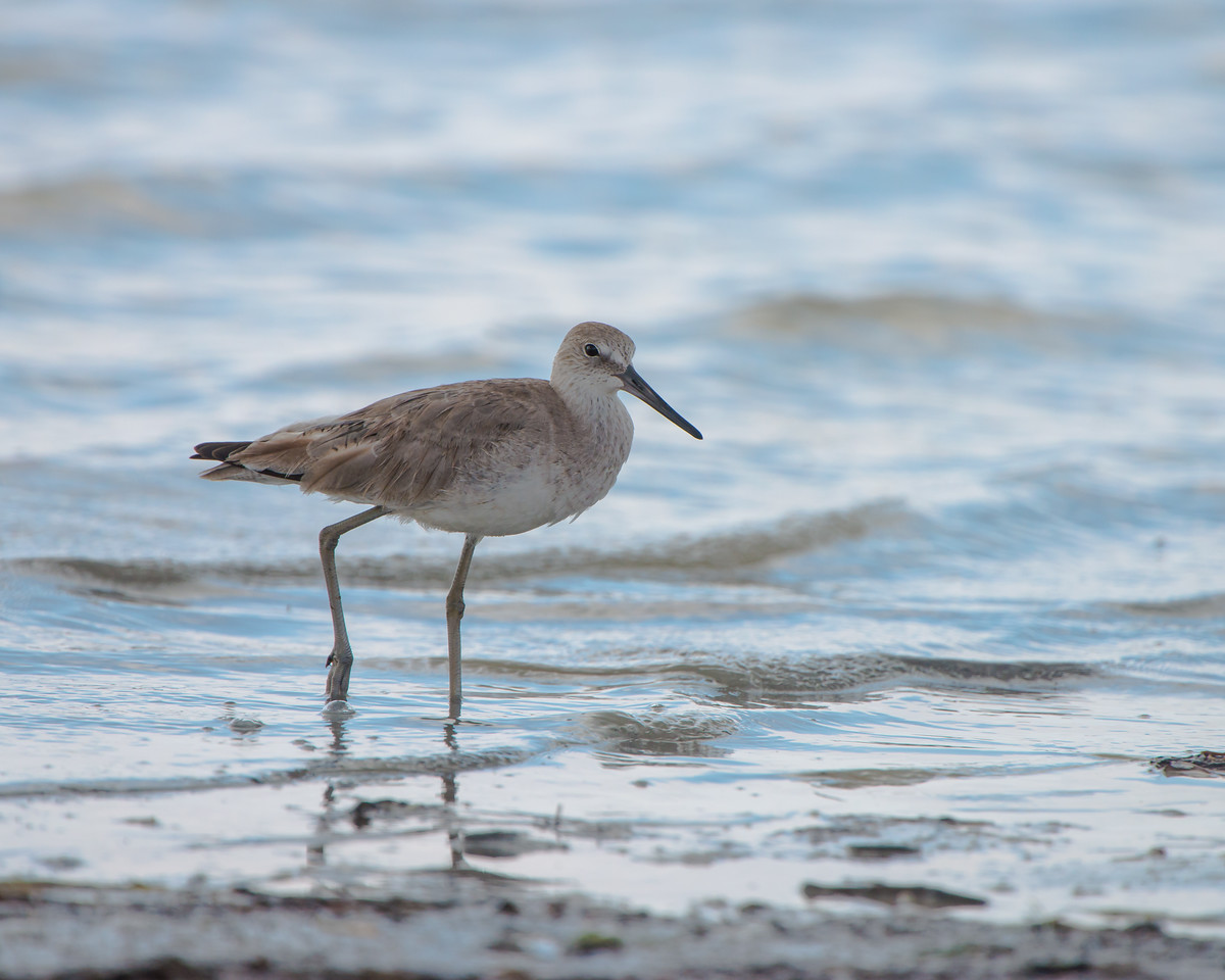 Sandpiper wading in the surf