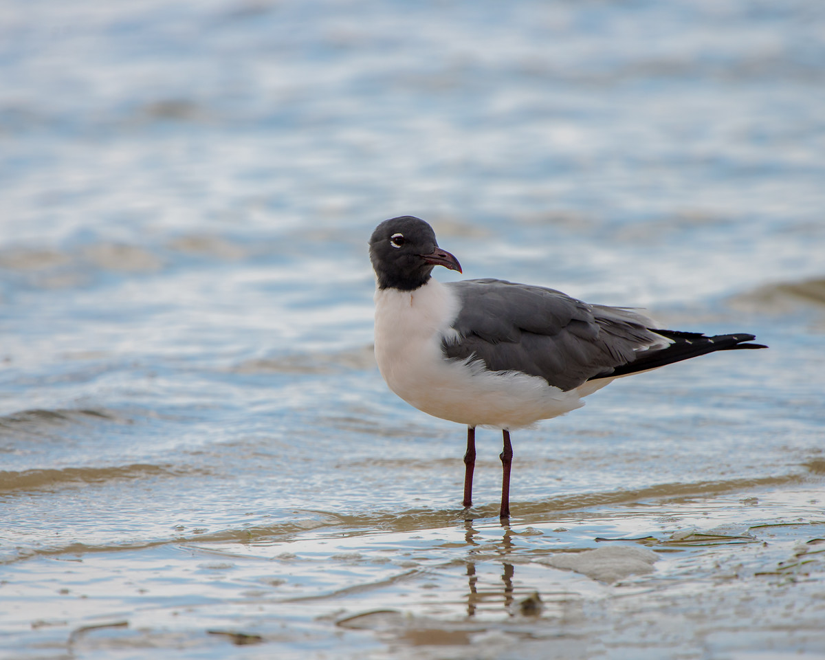 A Laughing Gull on the shore at Florida Bay