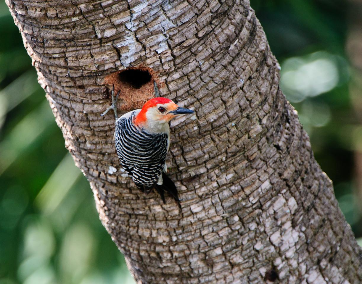 Red Bellied Woodpecker works on enlarging a nest hole.