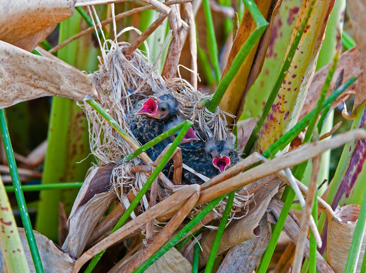 Three newborn redwing blackbirds.