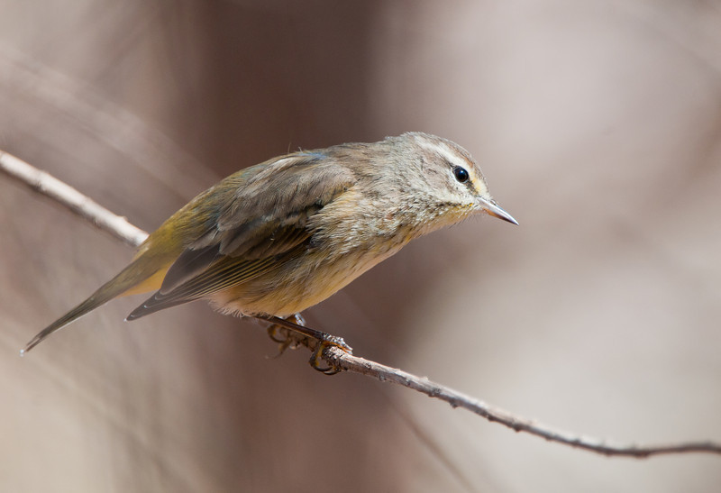 The Palm Warbler is most often found in the souther pine forests.