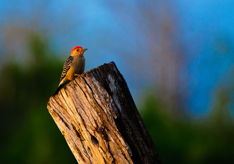 A red bellied woodpecker glows in the light of the setting sun at Green Cay.