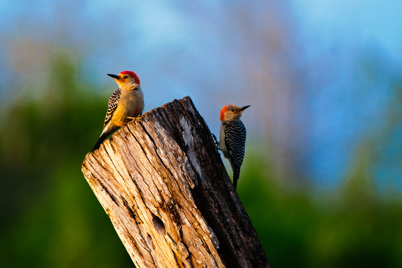 A pair of red bellied woodpeckers glow in the light of the setting sun at Green Cay.