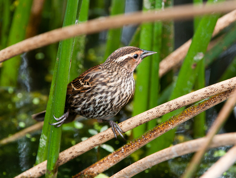 Female Redwing Blackbird hiding in the sawgrass.