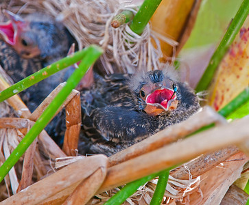 Redwing Blackbird baby finishes off a bottlefly.