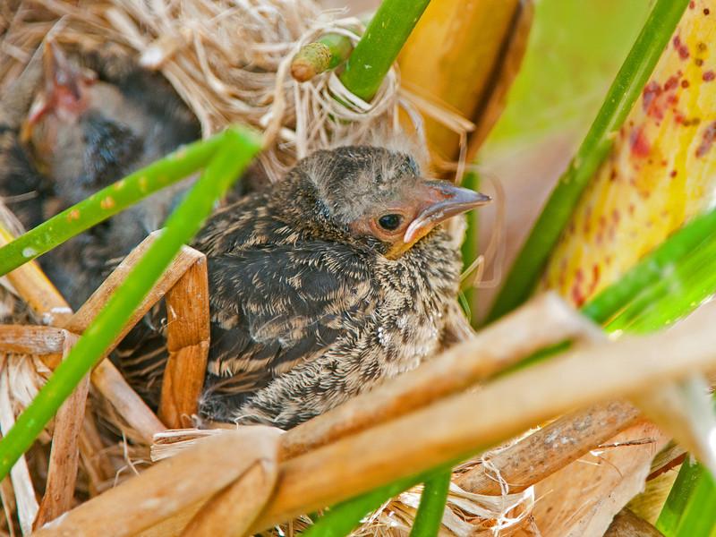 Redwing Blackbird nestling.