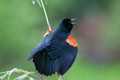 Redwing Blackbird calling for his mate while displaying his breeding colors.