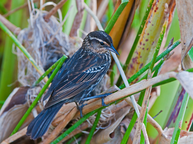 A female Redwing Blackbird stands watch over her nest with three newborns.