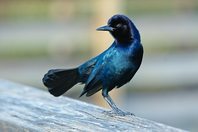 A grackle showing off his colors.