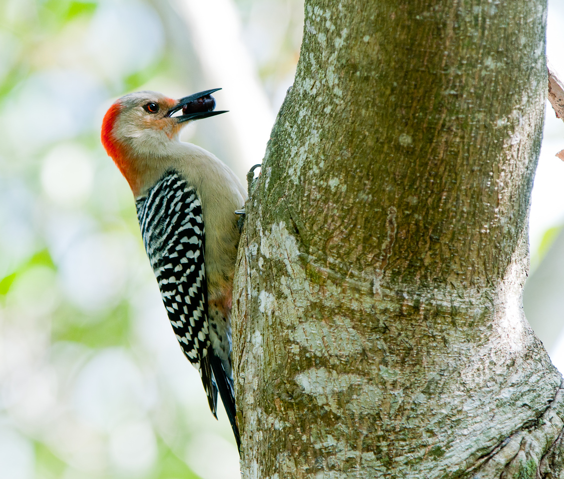 Red Bellied Woodpecker clings to a live oak while holding his lunch.