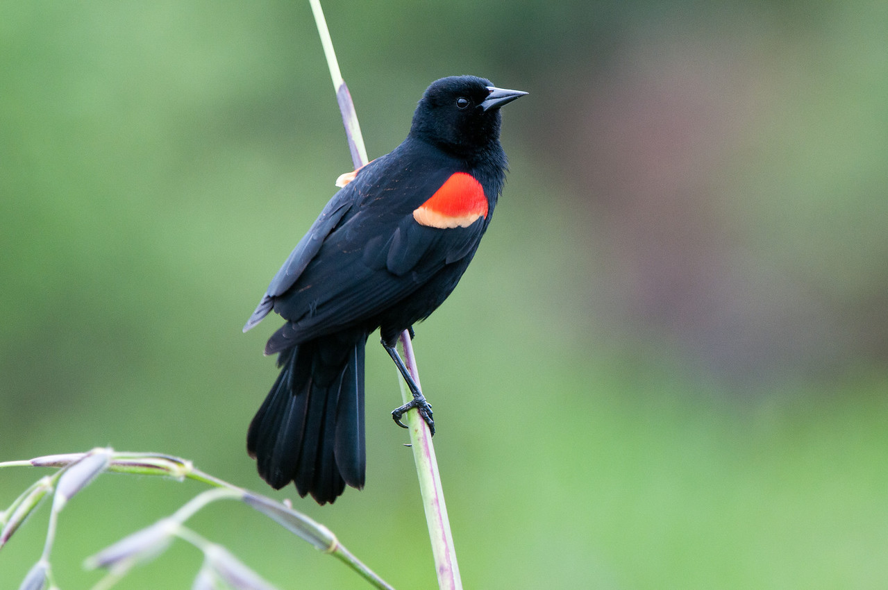 A male Redwing Blackbird prepares to call his mate.
