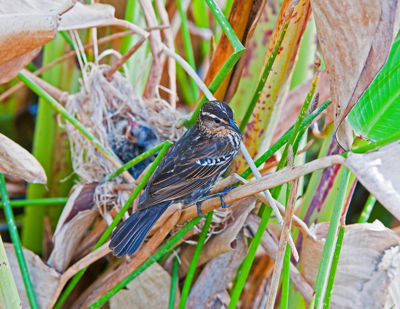 Redwing Blackbird female  watches over her nest.
