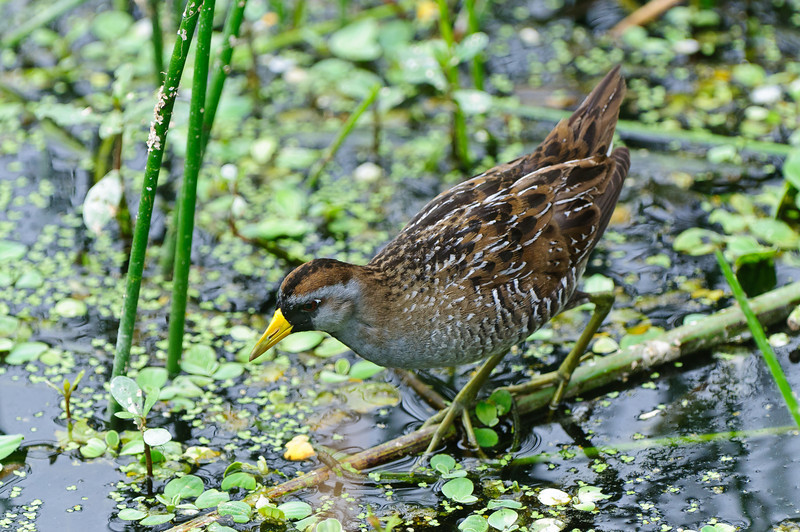 Sora are very elusive and seldom seen in the open.  This is a rare public appearance.