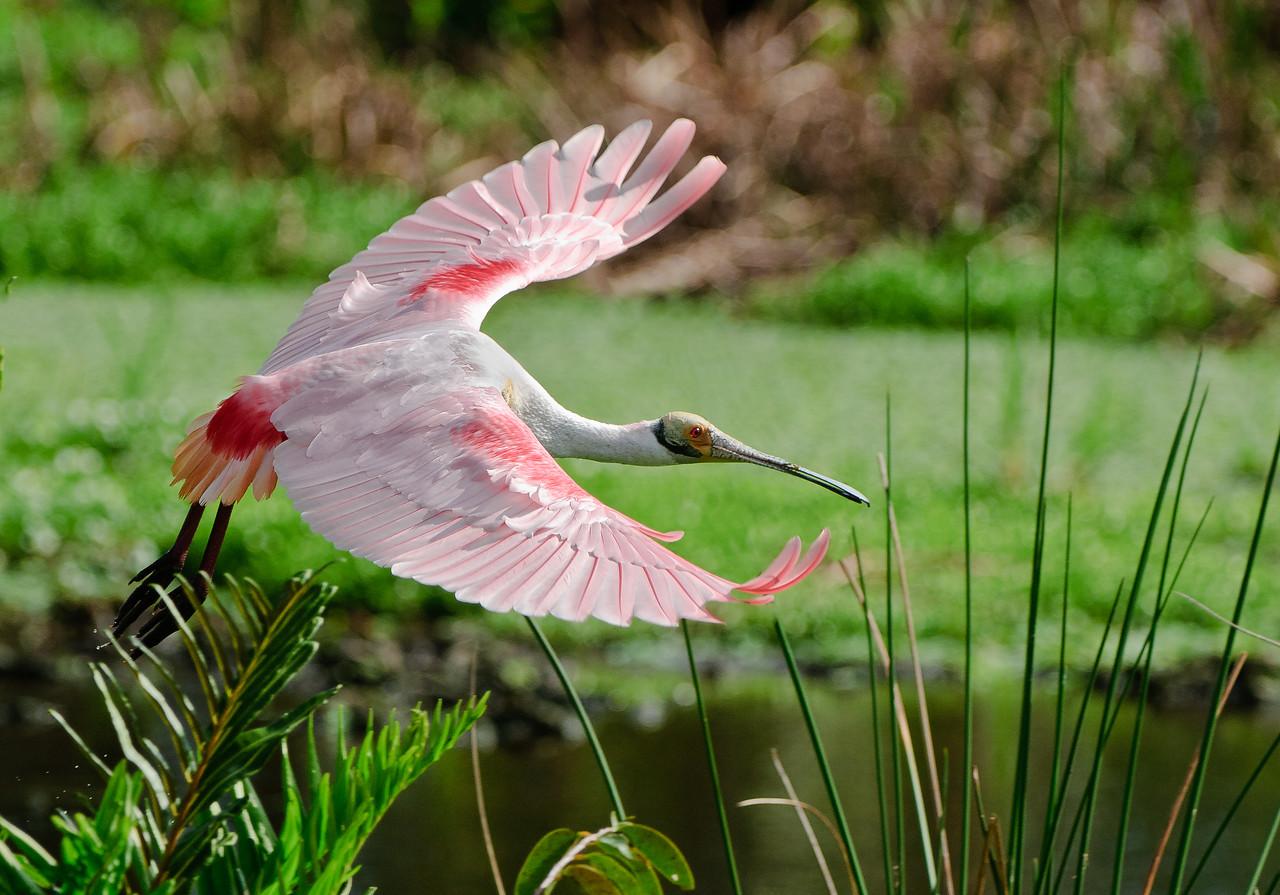 Rosette Spoonbill in flight over the wetlands.