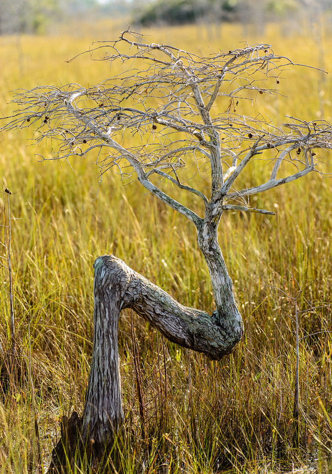 The iconic Z Tree, a dwarf bald cypress, rised about the sea of grass.