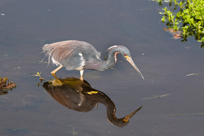 Tricolor Heron reflects in the still morning waters of an everglades channel.