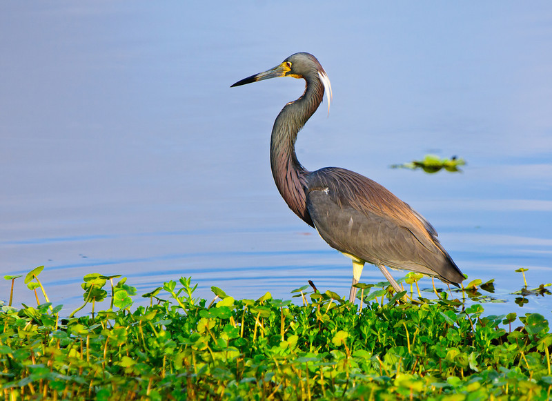 Tricolor Heron glows in the morning light.