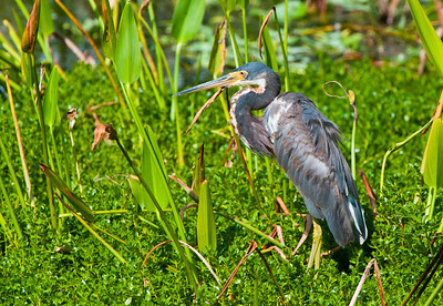 A Tricolored Heron ruffled by the stiff breeze.