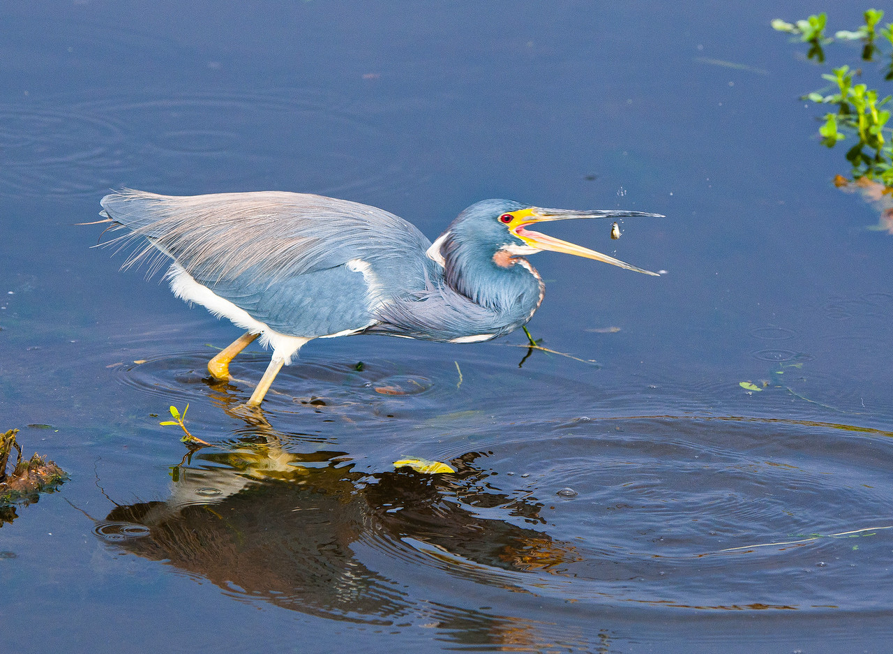 A Tricolor Heron flips his catch in preparation for dinner.