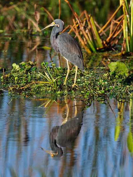 Pretty as a picture.  Tricolor heron.