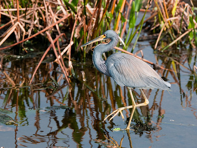 Tricolor Heron stalking prey in the marsh.