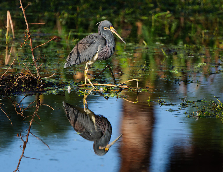 Into the looking glass.  A tricolor heron.
