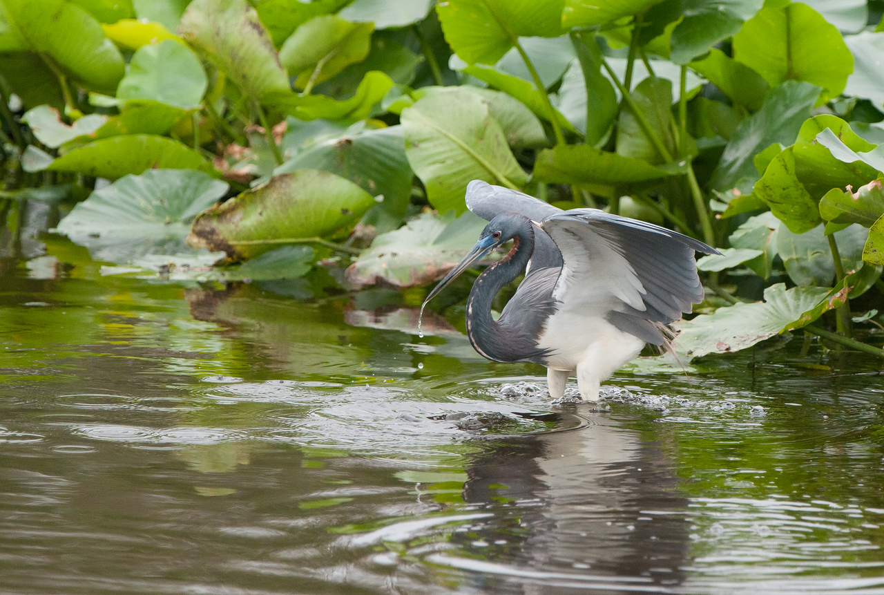 Tricolor Heron preparing for takeoff.
