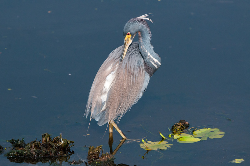 A Tricolor Heron adjusts his breeding plumage while wading in the marsh.