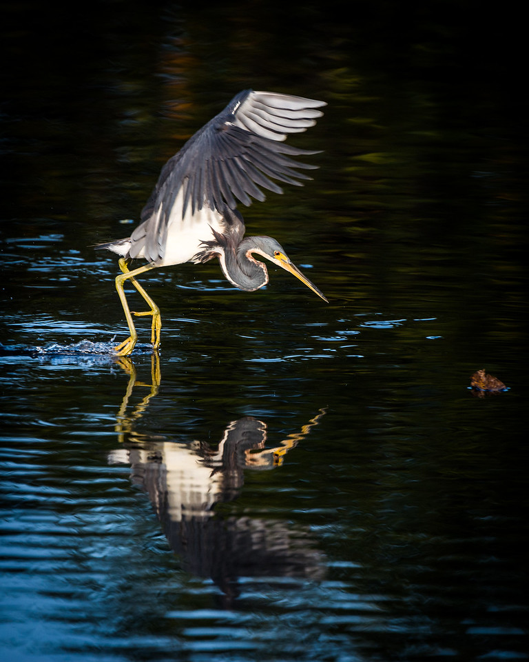 Tricolor Heron tip-toeing over the waters