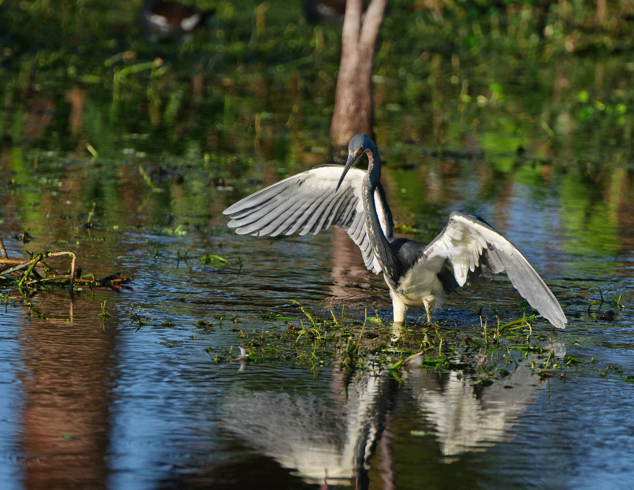 Tricolor Heron opens his wings.